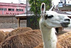 Suspicious llama is suspicious