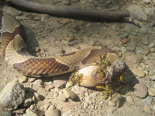 copperhead being eaten by bees