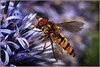 Hover Fly feeding (Smudge 9000) Tags: fly hover 2010 syrphida