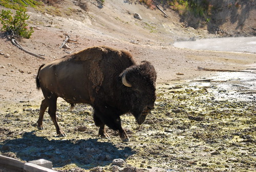 Bison encounter