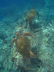 male turtles (bluewavechris) Tags: ocean life blue sea brown green water animal coral hawaii sand marine turtle reptile shell maui scales reef creature flipper