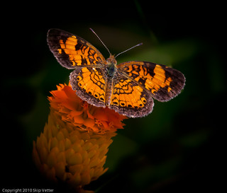 Pearl Crescent on Orange Milkwort