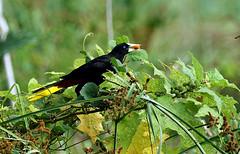 Psarocolius decumanus (mazama973) Tags: birds french crested cacique icteridae oropendola guiana cassique decumanus psarodolius
