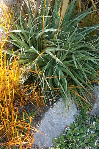 agave bracteosa and libertia perigrinans