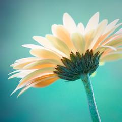Spirited. (CarolynsHope) Tags: blue flower color floral colors yellow modern square petals flora nikon colorful aqua bright turquoise vibrant peach vivid fresh daisy simple d90