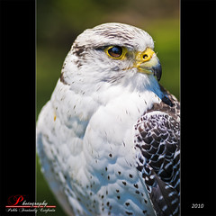 Falcon (_Hadock_) Tags: windows wallpaper orange macro apple up animal photoshop de mac nikon mediterranean mediterraneo close screensaver 10 5 background osx 7 sigma screen alicante leopard ojos seven ave pico falcon xp linux vista cs ubuntu fondo f28 pantalla siete naranjas saver plumas halcn peiscola buho lynux 105mm walpaper agila rapaces wildnature d80 algon cs5 specanimal mbd80 qbuntu hgila