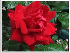 Regenrose - rain rose
