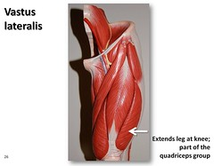 Vastus lateralis - Muscles of the Lower Extremity Anatomy Visual Atlas, page 26