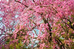Pink cherry blossoms in Ryoan-ji Temple Japan (Hopeisland) Tags: plant nature japan garden cherry temple spring kyoto blossoms zen sakura cherryblossoms rockgarden ryoanji zengarden  ryoanjitemple