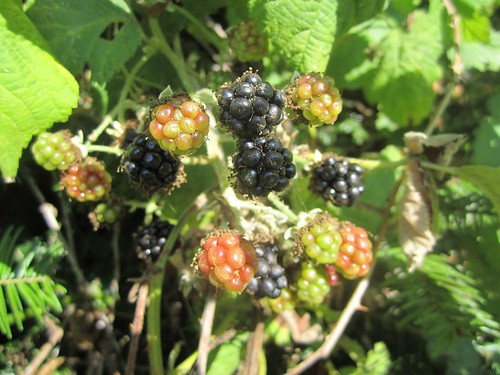 Blackberries on the vine