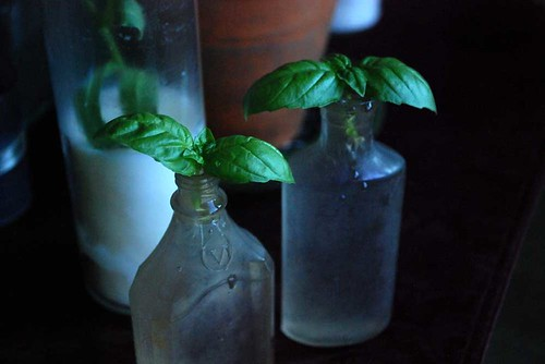 Rooting Basil in antique bottles