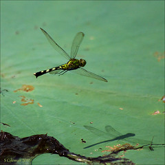 flyshadow (feenixfotography) Tags: green florida dragonfly tallahassee lakejackson odonata oviposit erythemissimplicicollis commonpondhawk lotuspad