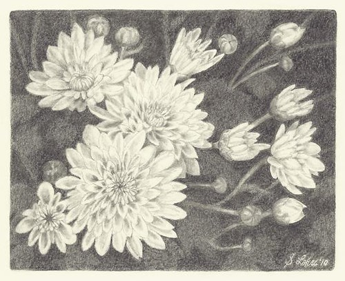 Chrysanthemums, graphite
