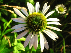 echinacea (Kristel Van Loock) Tags: flowers flower nature fleurs echinacea natuur natura fiori bloemen bloem onlynature solonatura
