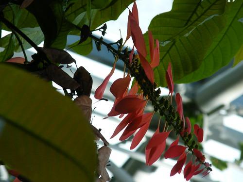 Warszewiczia coccinea [Cockrell Butterfly Center]