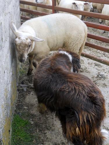 飞&  羊肉