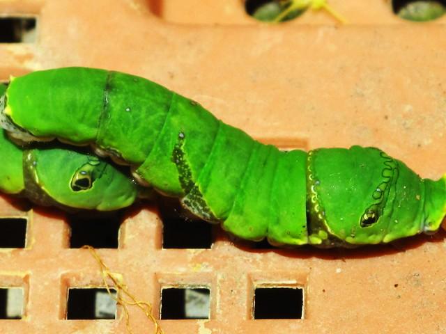 IMG_1895 Green Larvas