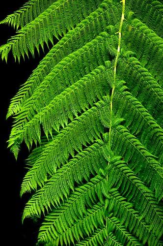 Treefern