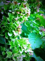 hydrangea (melissa_dawn) Tags: summer flower green kentucky ky sony summertime hydrangea pointshoot hazard picnik sonycybershot melissamiller melissadawn melissadawnmiller