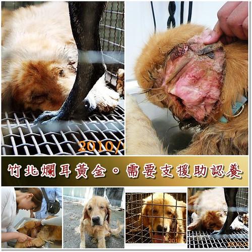 「需要支援」從竹北收容所救出中愛利希體又爛耳黃金獵犬,懇請贊助醫療資源,也徵助認養喔~隨手幫忙轉PO也是非常重要~謝謝您!20100821