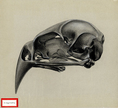 G maqnirostris skull. 1961.