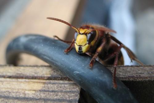 Hornet!