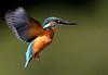 Guarda-rios (Alcedo atthis) (Joaquim Antunes) Tags: birding creative birdsinportugal avesemportugal kingfisher moment ornithology birdwatching alcedoatthis guardarios arner martinpêcheur eisvogel specanimal creativemoment martínpescador joaquimantunes colorphotoaward kuningaskalastaja