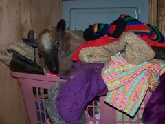 Mandua in the pet clothes basket