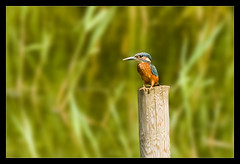 My First Kingfisher (Karl33to) Tags: bird nature fishing nikon kingfisher brandonmarsh d3000 nikkor70300afs
