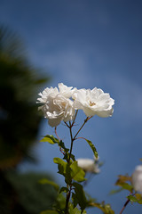 Roses Blanches-2 (l3enjamin) Tags: pictures blue sky white france flower art topf25 fleur rose topv111 photo yahoo interestingness topf50 topv555 topv333 topf75 flickr foto image ben photos topv1111 topv999 picture pic images bleu ciel fotos topv benjamin blanche blanc flick franais nantes artistique photographe roseblanche rosesblanches flickraward geocity camera:make=canon exif:make=canon exif:iso_speed=100 exif:focal_length=70mm nantais camera:model=canoneos5d geostate geocountrys exif:lens=ef2470mmf28lusm exif:model=canoneos5d exif:aperture=28