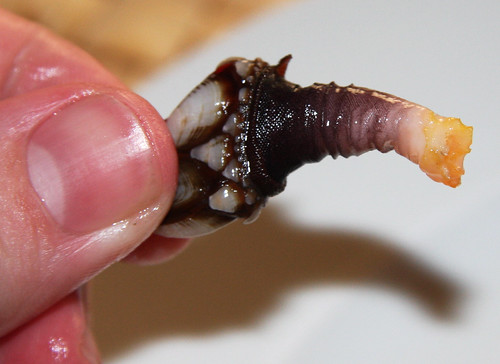 Goose Barnacle: The Meaty Bit