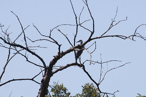 Great Blue Heron - I'm In a Tree!