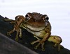 Where's That Piggy Chick? (Charlie Carroll) Tags: florida creative amphibian frog moment creativemoment