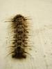 Bicho raro (Anahi Temporelli) Tags: macro bug insect olympus scales rare bicho hairs raro insecto escamas pelitos mju9000
