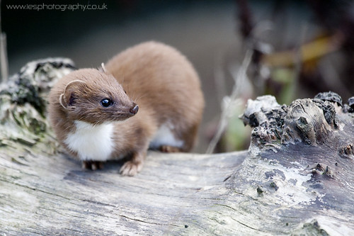 Weasel - BWC