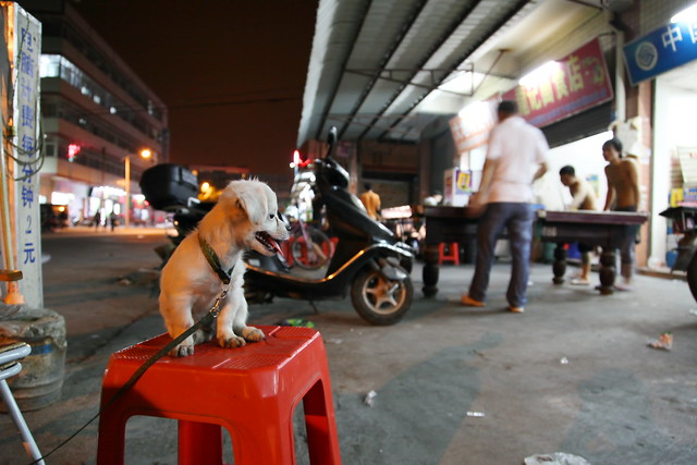 A dog on the red cheer, Guangzhou, China