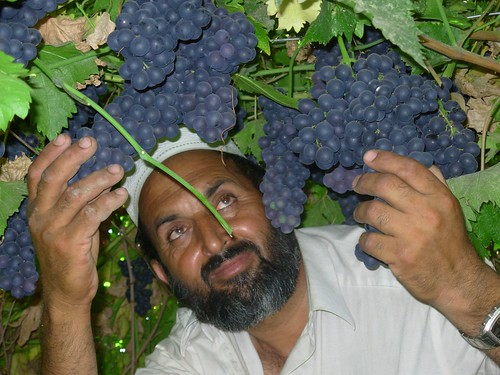 An Afghan farmer inspects fresh grapes before the harvest.
