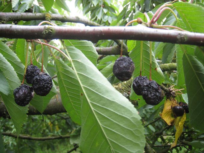 Cherry chin sap rung