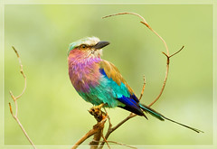 One more.. (hvhe1) Tags: africa bird nature colors animal southafrica bravo colorful wildlife safari perch roller mala gamedrive lilacbreastedroller malamala interestingness4 specanimal hvhe1 hennievanheerden avianexcellence scharrelaar