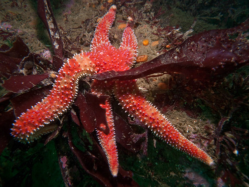 Monterey Starfish