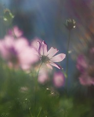 (BiusBogdan) Tags: flower dof bokeh virg wonderfulworldofflowers canon350dhelios244258