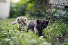 kittens (chrisglass) Tags: ohio kittens southpark kitties dayton