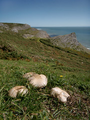 Mushrooms at Longhole cliff (greggys stuff) Tags: gower overton agaricussp mushroomsatlongholecliff