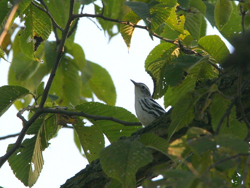 Black-and-White Warbler 2-20100831