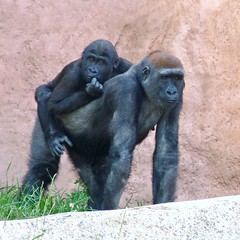 Baby Yewande (njchow82) Tags: nature lowlight gorilla wildlife pair calgaryzoo animaladdiction beautifulexpression specanimal yewande worldofanimals naturallymagnificent njchow82 dmcfz35