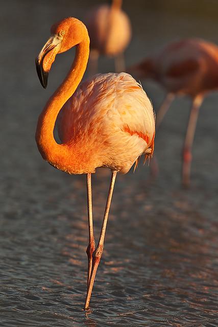 Galapagos pink flamingo