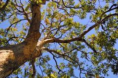 Tree Canopy - D2X-9-3-10_DSC2419_62404 (Cap001 - Dan) Tags: gmt treecanopy