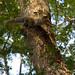 Zanj Sun Squirrel - Selous Game Reserve, Tanzania