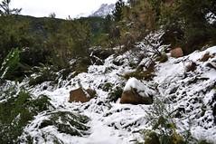 Sentier de Mela/Sainte-Lucie (270m) : le maquis ployé par la neige