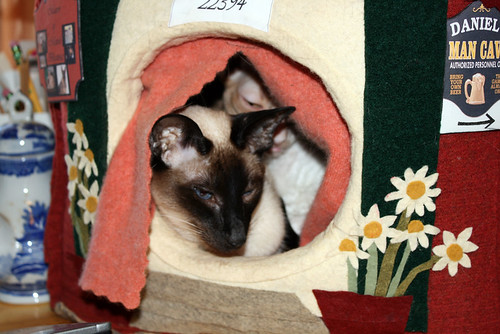 This time it is Aida, a seal-point Siamese cat, who has her head out the door of the cat house.  If you peer behind her, you can see Roo's face.